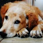 Mogelijke 'outbreak' hevig productief braken bij honden