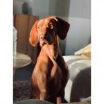 OPROEP: Enquête bij Vlaamse dierenartsen omtrent hartritmestoornissen bij de hond