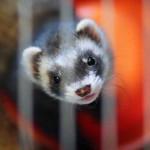 Alle pelsdierkwekerijen in Vlaanderen willen stoppen